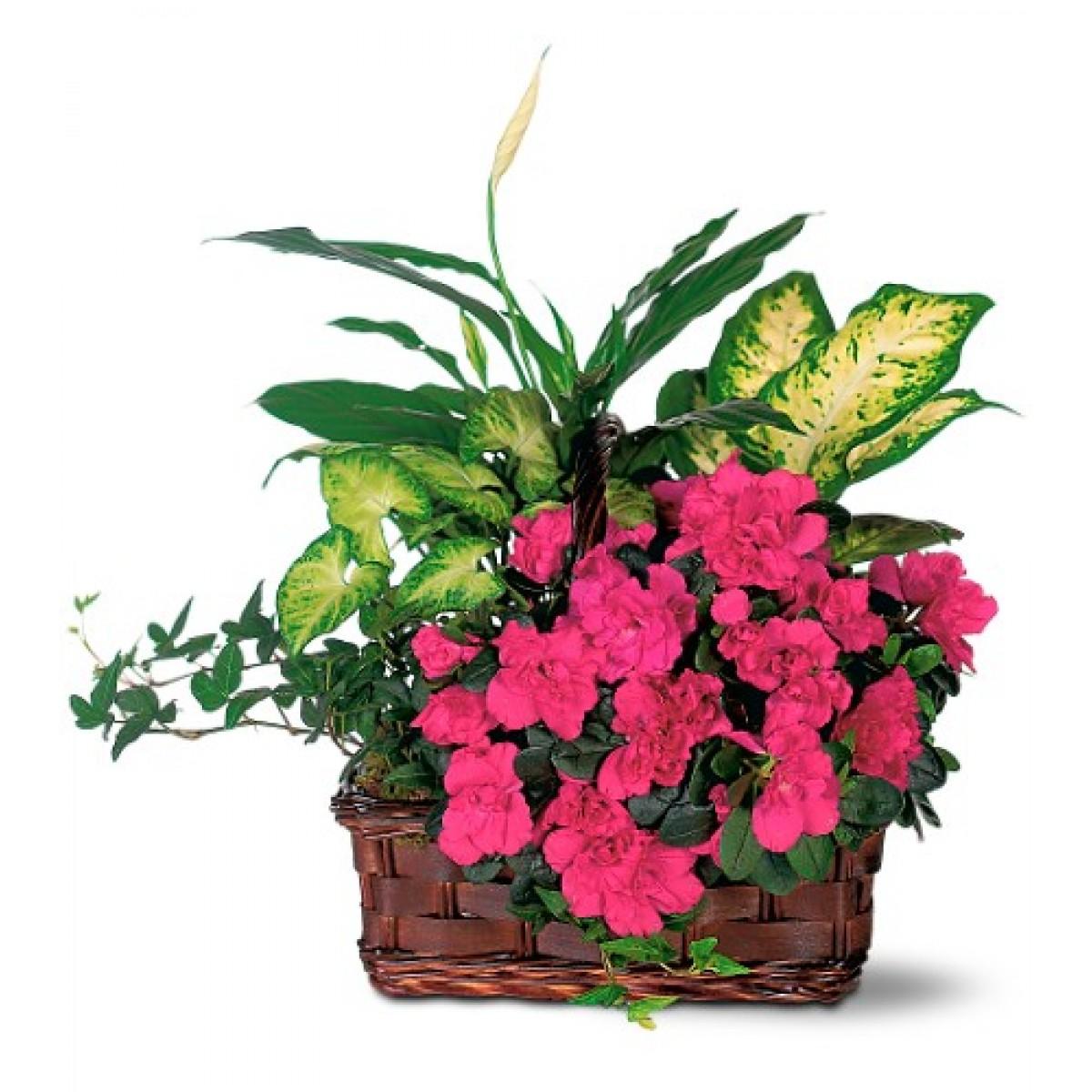Аранжировка с азалия и растения